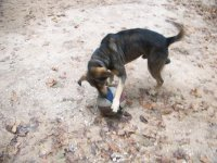 10-15-07 Booger playing with his ball.jpg