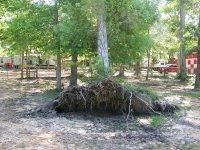 4-28-16 Huge Oak Tree Root Sytem.jpg