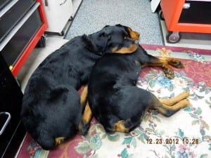 Tom's has 3 rottweilers!